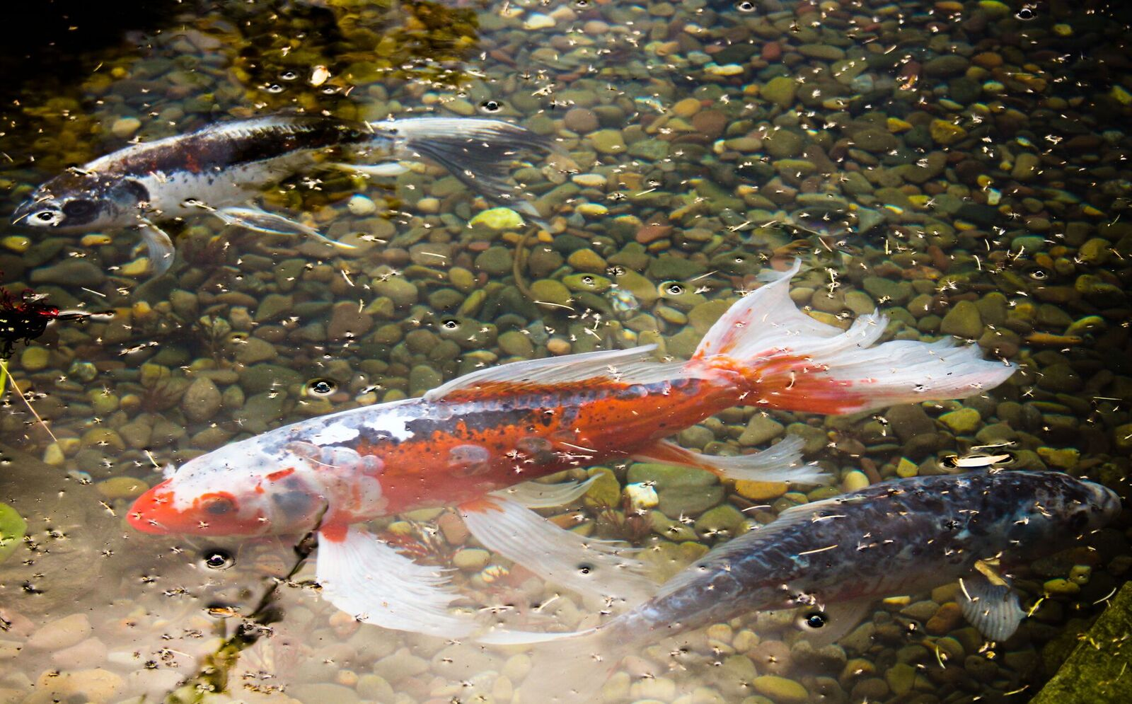 Orange County Pond Fish