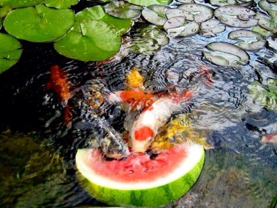 healthy koi treats